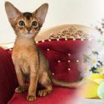 Купить абиссинскую кошечку можно в нашем питомнике абиссинских кошек