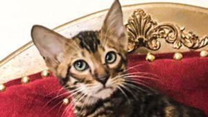 Котята Тойгеры