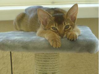 Bastet, ruddy cat