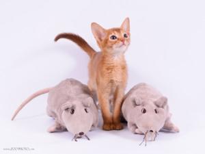 Абиссинские котята из предыдущих помётов