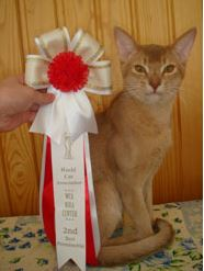 Boniface - fawn color cat