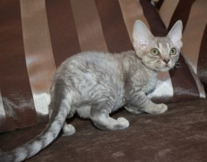 Blue tiger cat