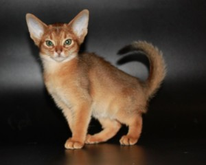 Buy ruddy Abyssinian kitten