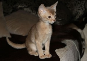 Cat color fawn Abyssinian