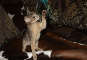 Kitten color blue Abyssinian