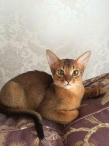Ричард - котик дикого окраса