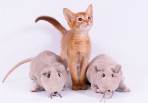 Buy Abyssinian kitten sorrel color