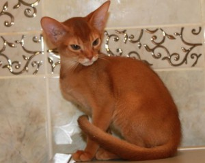 Abyssinian sorrel color