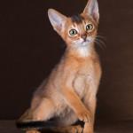 Кошечка дикого окраса 2