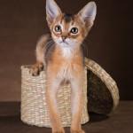 Кошечка дикого окраса