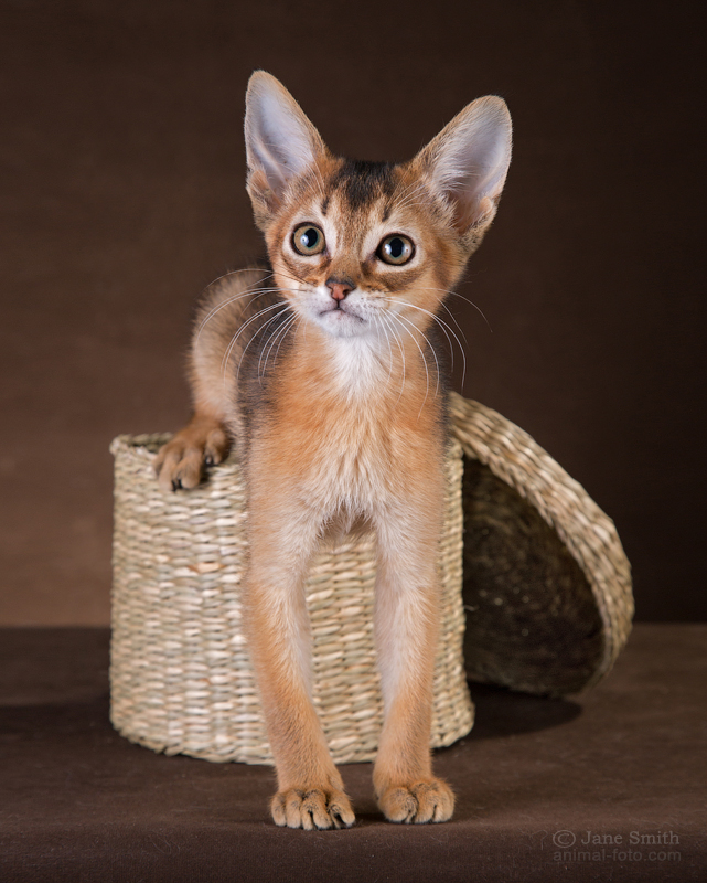 The nature of Abyssinian breed