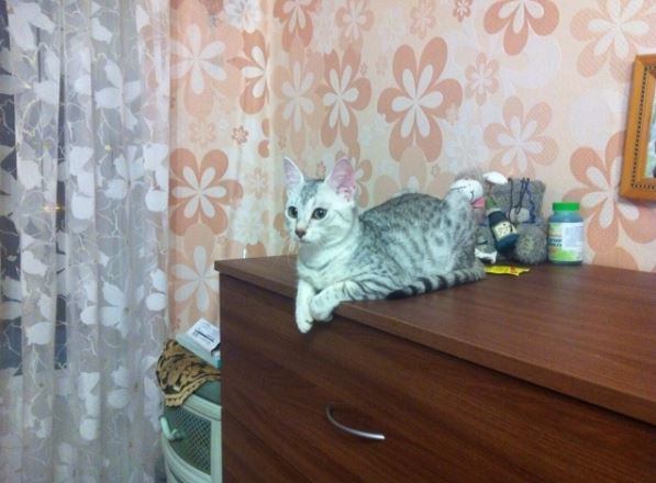 Cat Egyptian Mau