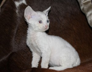 Kitten Devon Rex white color