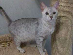 "Кошки. Производители ""Египетские Мау"""