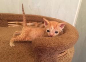 Devon Rex. Kitten color red