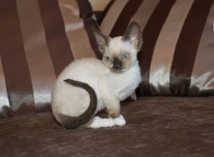 Buy cat Devon Rex color mink