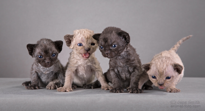 Little kittens Devon Rex is available for reservation