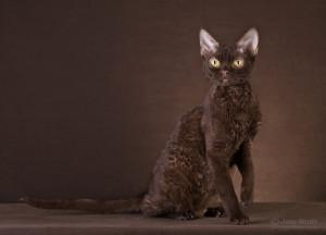 Ch. Chocolate Pussy-Cat