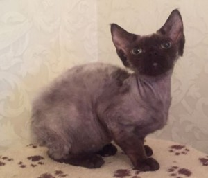 Cat Devon Rex chocolate color