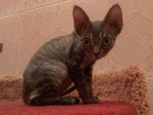 Buy Devon Rex