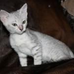 Кошечка серебристого окраса