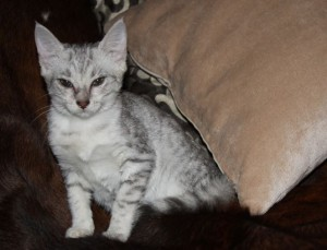 Kitty Egyptian Mau silver color