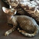 Котик девон-рекс черный тигровый