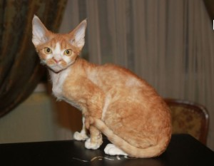 Cat Devon Rex red color