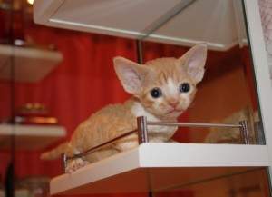 Cat Devon Rex black color to buy in Moscow