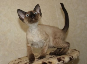 Care of breed Devon Rex