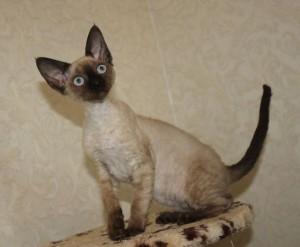 Cat Devon Rex color mink