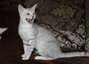 About the breed Egyptian Mau