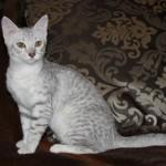 Котик серебристого окраса