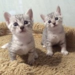 Котик и кошечка серебристого окраса
