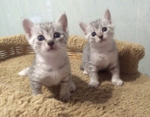 Buy Egyptian Mau kitten profitable in Russia!