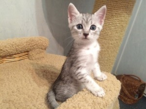 Buy Egyptian Mau kitten