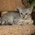 Котик серебристого окраса 2