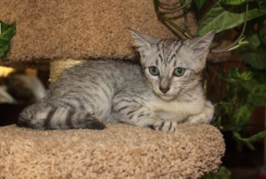 Buy Egyptian Mau kitten