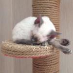 Марта- кошечки блю поинтовая фото2