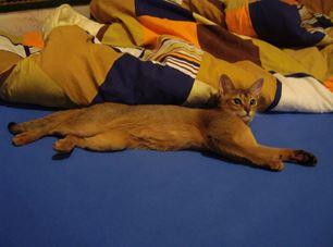 Medea - cat ruddy color