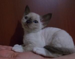 Kittens Devon Rex mink color. Buy Devon Rex