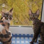 Муся и Зая - кошечки девон рекс фото 2