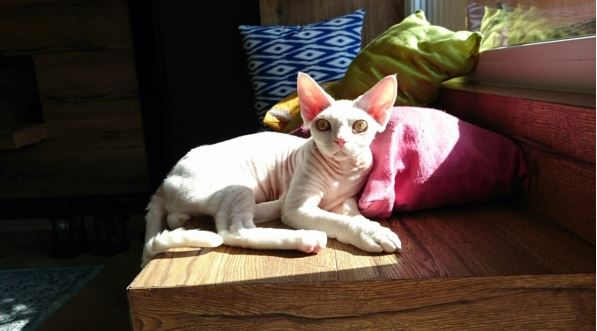 Oscar — kitty white color