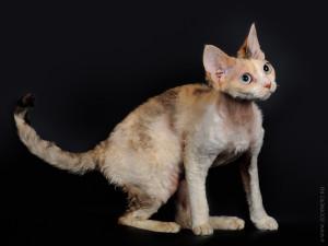 Наши кошки (Девон-рексы)