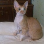 Шимшон - красный котик с белыми отметинами фото 1