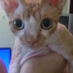 Шимшон - красный котик с белыми отметинами фото 2