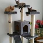 Симба, Лили и Шоки, котята девон рексы