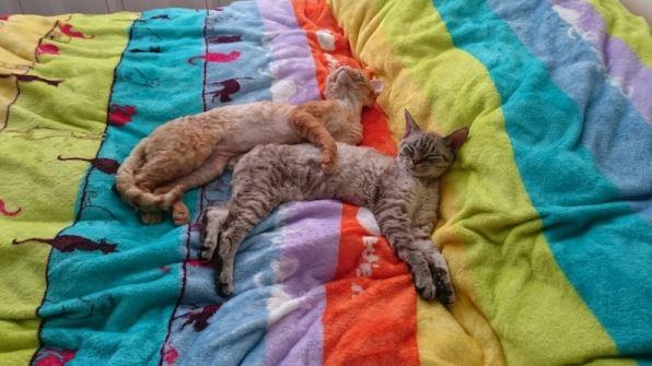 kittens Devon Rex