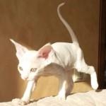 Тося, белая голубоглазвя кошечка девон рекс фото 2