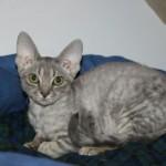Юкари кошечка голубого окраса фото 2